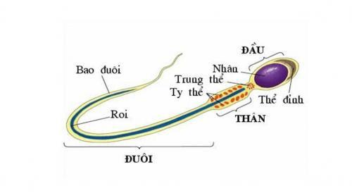1. Hình ảnh tinh trùng bình thường 1