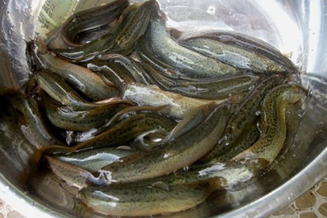 4.Mẹo chữa yếu sinh lýtừ cá chạch: 1