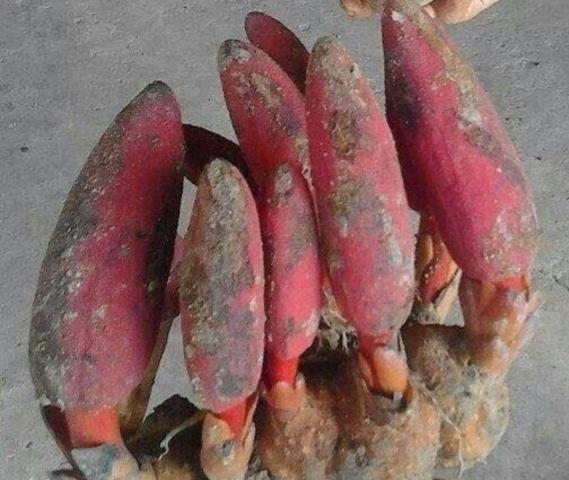 3. Một số hình ảnh của nấm ngọc cẩu (tỏa dương): 1