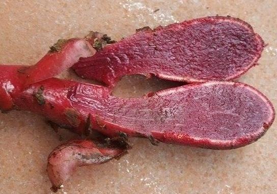 3. Một số hình ảnh của nấm ngọc cẩu (tỏa dương): 3