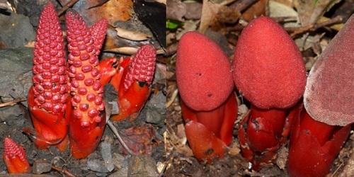 Hình ảnh nhận biết nấm ngọc cẩu 1