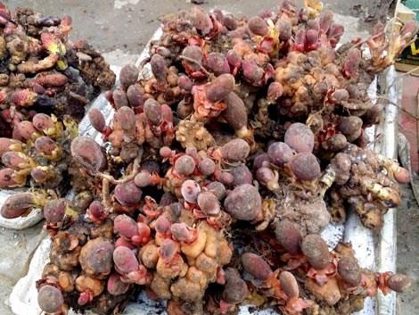 Lựa chọn nấm ngọc cẩu chuẩn và chất lượng nhất hiện nay 1