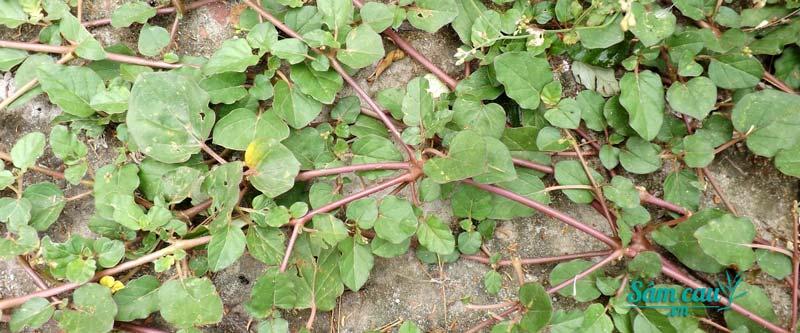 Hình ảnh cây sâm đất 4